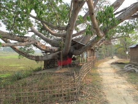 octopus-like tree in Assam