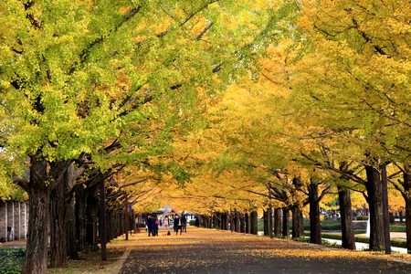 Ginkgo trees turn into golden colour gloriously during autumn at Showa Memorial Park in Tachikawa town, Tokyo, Japan