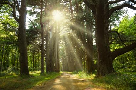 Sunlight trough a forest of cedar trees