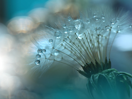 Foto de Abstract macro photo with dandelion and water drops.Artistic Background for desktop. Flowers made with pastel tones.Tranquil abstract closeup art photography.Print for Wallpaper...Floral fantasy design... - Imagen libre de derechos