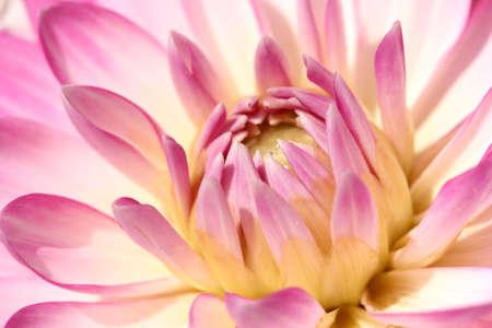 Photo pour Purple Dahlia - image libre de droit
