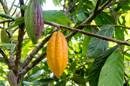 Cocoa pods on a cacao tree in Mindo, Ecuador