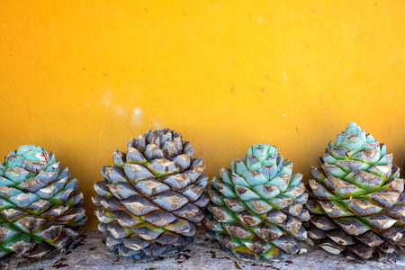 Blue agave pineapples against a yellow wall in Mexico