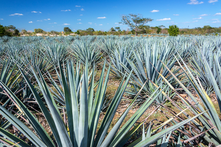 Field of blue agave for tequila near Valladolid, Mexico