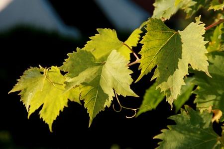 Vine leaves in September