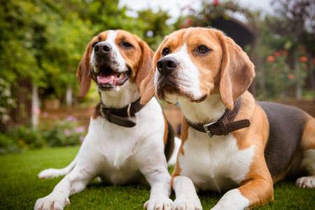 Photo pour two beagles laying down on grass - image libre de droit