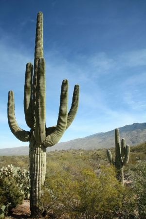 Giant Saguaro Cactus, Saguaro National Park, Sonoran Desert, Tucson, Arizona