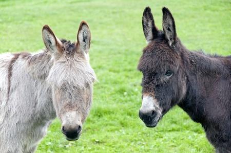 Foto de Two donkeys looking at you, holland, europe - Imagen libre de derechos
