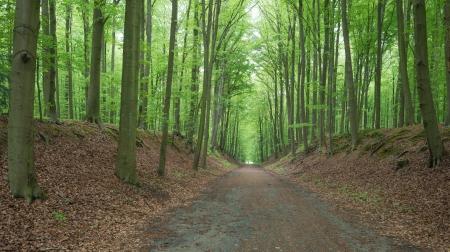 Path Through A Beech Forest