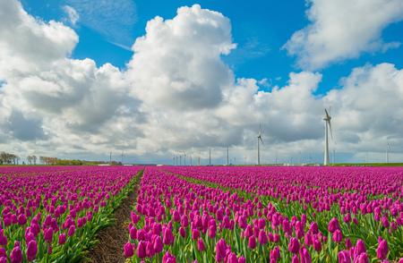Photo pour Tulips in a field in spring - image libre de droit