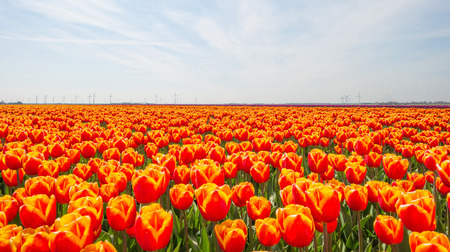 Photo pour Tulips in a field in spring below a blue cloudy sky - image libre de droit