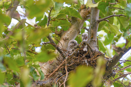Photo pour Pigeon chicks in a nest in an apple tree in sunlight in summer - image libre de droit