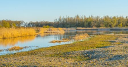 Photo for Reed along the edge of a lake below a blue sky in sunlight at sunrise in spring - Royalty Free Image