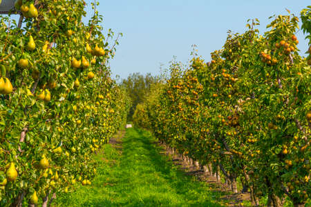 Foto für Pears growing in pear trees in an orchard in bright sunlight in autumn, Voeren, Limburg, Belgium, September 11, 2020 - Lizenzfreies Bild