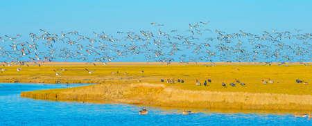Foto de Flock of geese flying in a bright blue sky over wetland in sunlight in winter, Almere, Flevoland, The Netherlands, March 2, 2021 - Imagen libre de derechos
