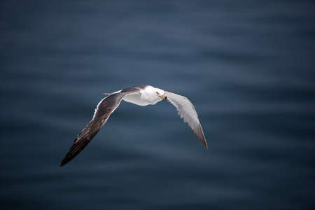 Photo for A seagull flying over the sea. - Royalty Free Image