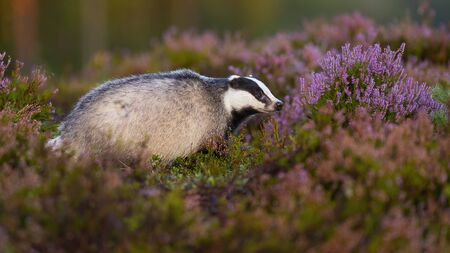 Photo pour Curious european badger, meles meles, looking aside from profile view on blooming heathland in summer. Adorable mammal with little black eyes animal sniffing in moorland from profile. - image libre de droit