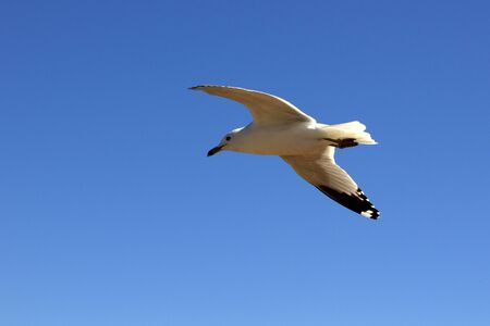 Photo for A Ring-billed Sea Gull soars overhead - Royalty Free Image