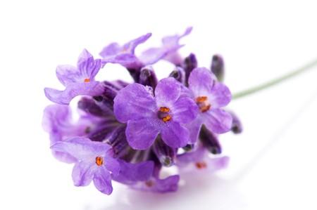 lavender flower on the white background