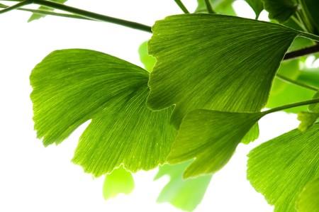 Ginkgo biloba green leaf isolated on white background