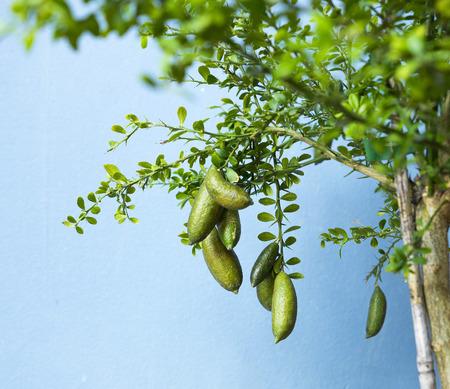 Photo pour Australian Finger lime or Caviar Lime - image libre de droit