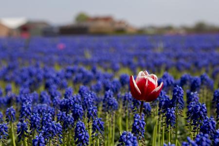 Photo pour Dare to be different - Dutch tulip fields - image libre de droit