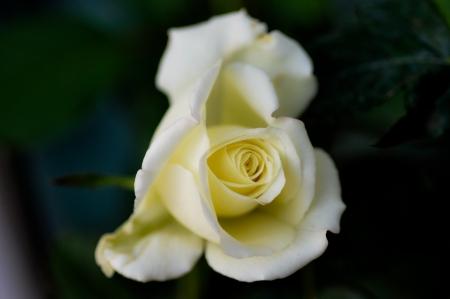 a white rose flower