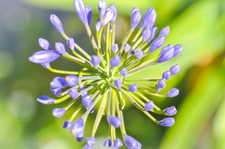 Agapanthus, Blue African lily or Lily of nile flower
