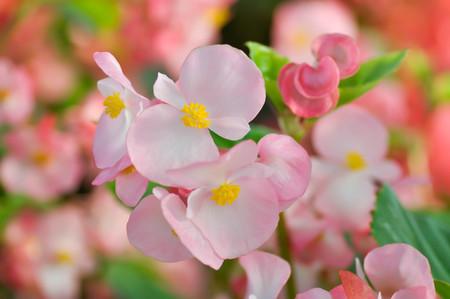 Foto de Begonia ,Begonia x semperflorens-cultorum or pink Begonia - Imagen libre de derechos