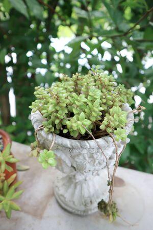 Dischidia nummularia Variegata , dave plant in the vase