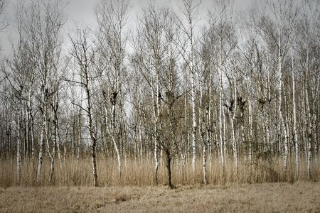 Birch wood in peaceful autumn mood