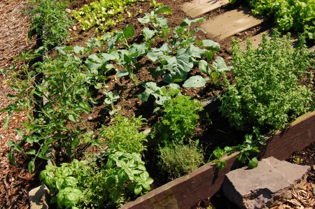 A raised bed organic garden with vegetables and herbs