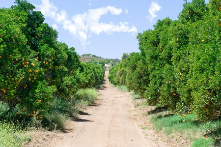 An orange grove with fresh, ripe oranges and a blue sky.
