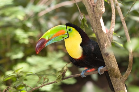 A beautifully colored Toucan sits perched in a tropical rainforest tree.