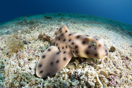 A juvenile horn shark rests motionless on the bottom of the sea floor.