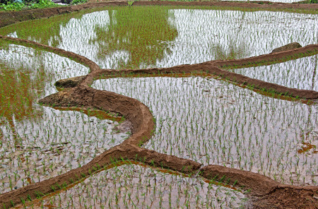Terraced rice field with freshly planted saplings and flooded with water  in Goa, India.