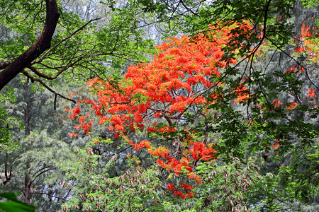 Lone flame of the forest tree in full bloom among thick vegetation of varied trees in rain forest in Goa, India. The flowers are used in Lord Shiva worship and fire ritual In India.
