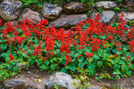 Brilliant scarlet salvia splendens flowers in garden. This plant is also called scarlet sage or tropical sage.