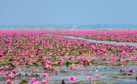 Photo pour Talay Bua Daeng or Red water lily sea at Nong Han marsh. The travel destination for tourism in Kumphawapi district, Udon Thani, Thailand. - image libre de droit