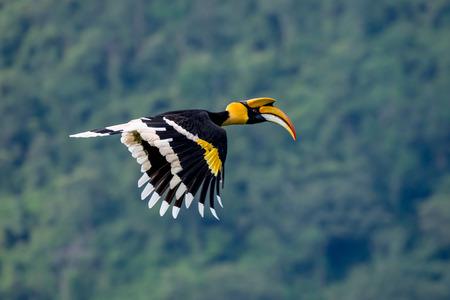 Flying great hornbill at Khao Yai national park, THAILAND