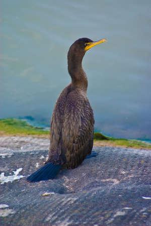 Double-crested cormorant (Phalacrocorax auritus) - drying wings on wall