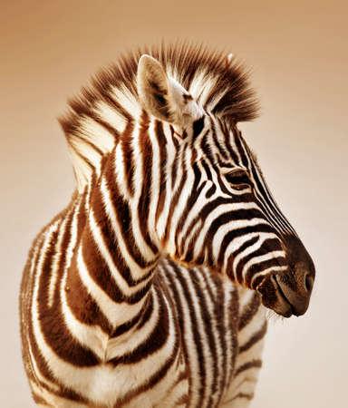 Foto de Close-up portrait of a  baby zebra;  Etosha; Equus burchell's - Imagen libre de derechos