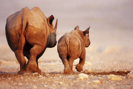Black Rhinoceros cow and calf walking away in Etosha desert