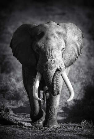 Large Elephant Bull Approaching  Artistic processing