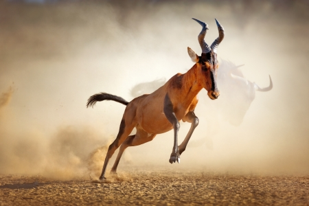 Photo pour Red hartebeest running in dust - Alcelaphus caama -  Kalahari desert -  South Africa - image libre de droit