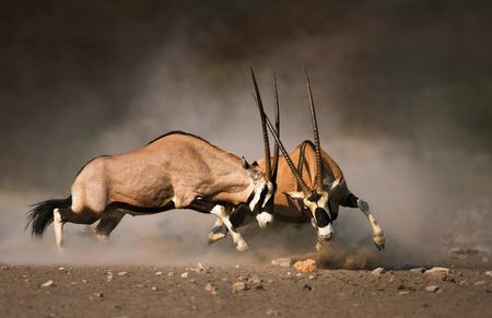 Photo pour Intense fight between two male Gemsbok on dusty plains of Etosha - image libre de droit