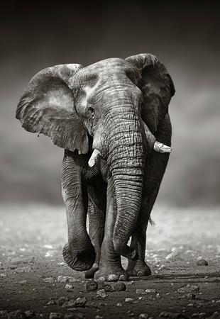 Photo for African Elephant Loxodonta Africana approach from the front   Etosha National Park Namibia - Royalty Free Image
