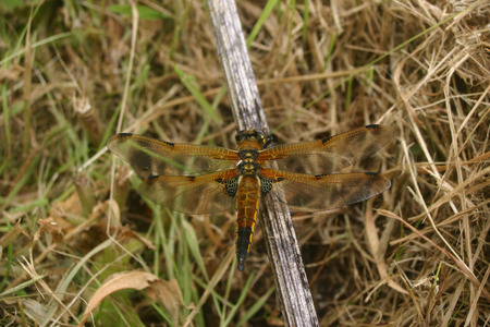 Freshly emerged four-spotted chaser dragonfly Libellula quadrimaculata