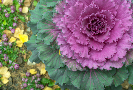 Pink ornamental cabbage plant grows in a spiral with bright vibrant foilage