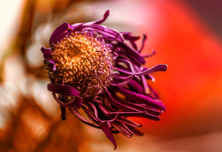 Single macro image of a dying purple Chrysanthemum flower with a colorful background of complimentary  reds and orange